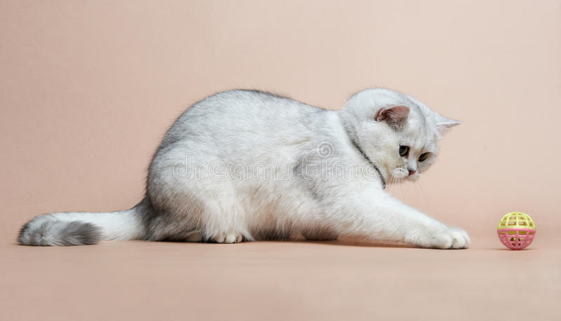 Download Cat Of The British Breed. Rare Coloring - A Silver Stock Image - Image: 25552911