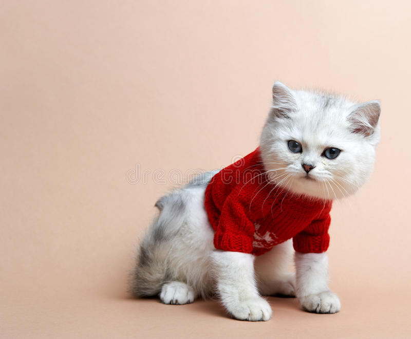 Download Cat Of The British Breed. Rare Coloring - A Silver Stock Image - Image: 25552919