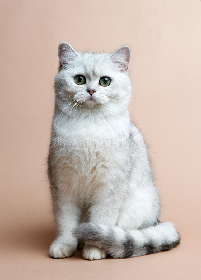 Download Cat Of The British Breed. Rare Coloring - A Silver Stock Image - Image: 25552979
