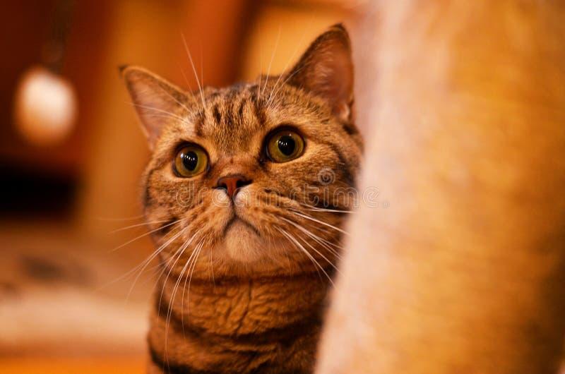 Cat British-ras stock afbeelding
