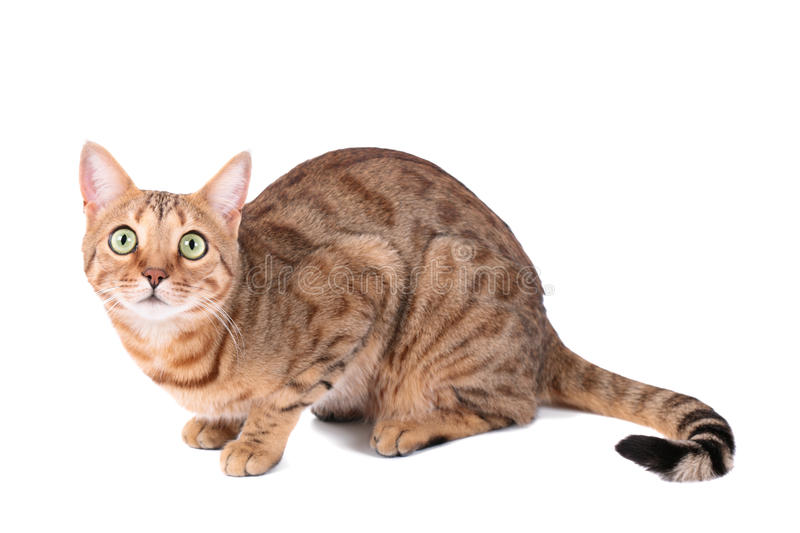 Download Cat stock photo. Image of furry, soft, prionailurus, bengal - 37504212