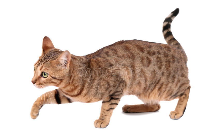 Download Cat stock photo. Image of furry, striped, brown, adult - 37504220