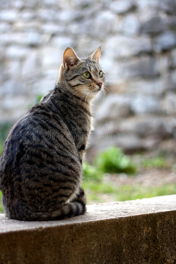 Cat. Brown tabby cat sitting in the garden. Selective focus royalty free stock image