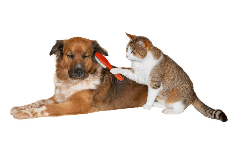 Cat brushing a blissful dog. Quirky image of a pretty little cat with a red brush grooming its friend, a cute blissful brown crossbred dog lying basking in the stock image