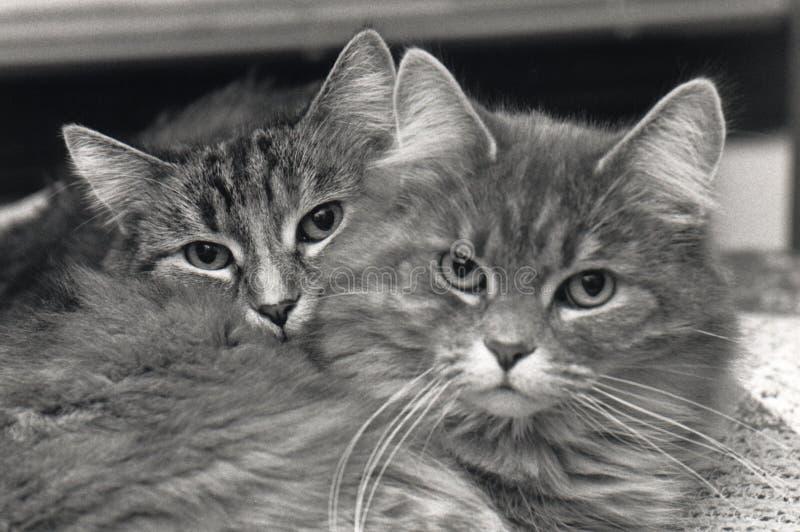 Cat Buddies Stock Image