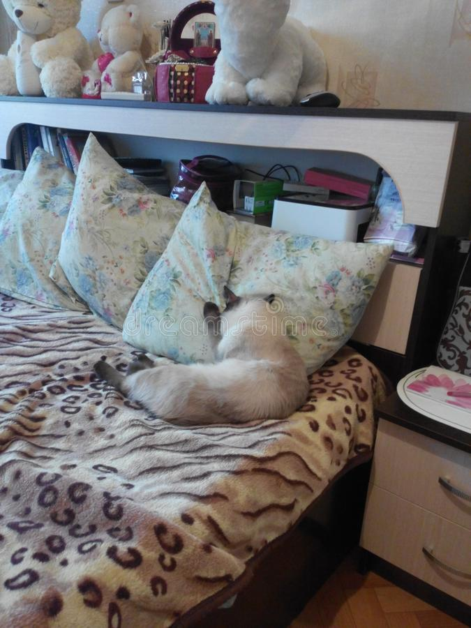 The cat buried in the pillow. Thai cat sleeps buried in the pillow, it lies on the bed, an adult animal of light color with dark ears, paws and tail. Home stock photo