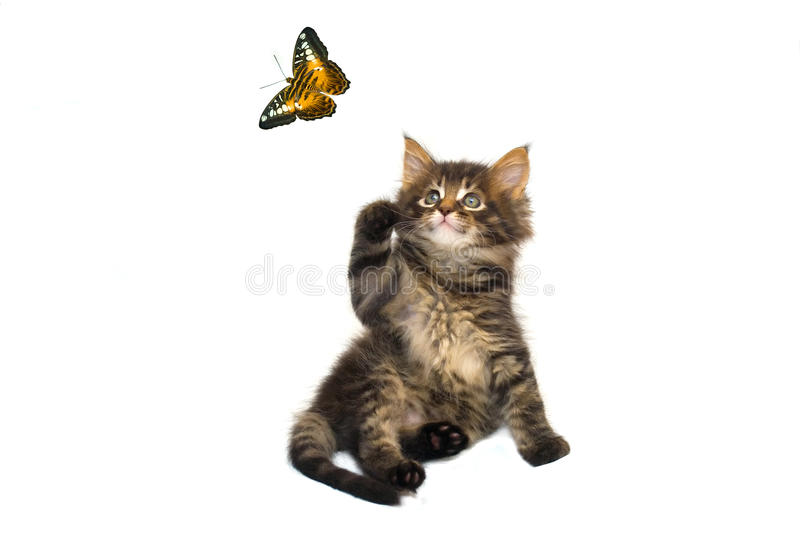 Cat and butterfly. Little cat is playing with butterfly royalty free stock image