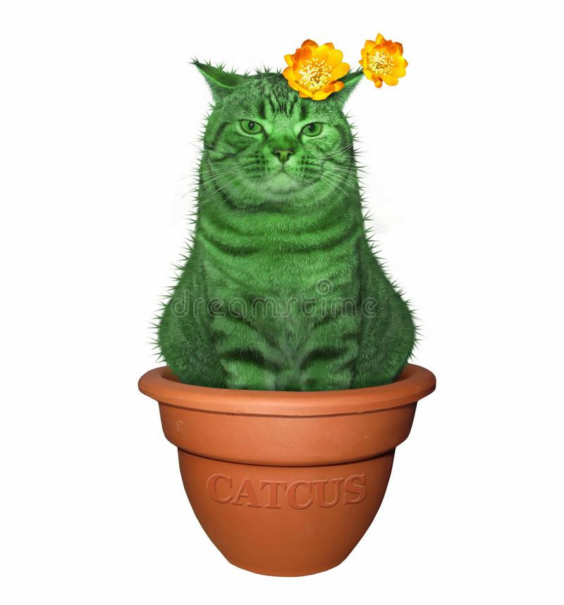 Cat cactus in a pot 2. The cat cactus sits in a flower pot. White background royalty free stock image