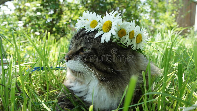 Cat with a camomile wreath. Rest in park stock photo