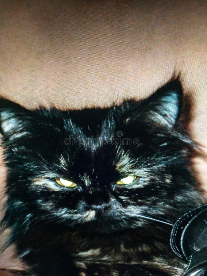 Cat, cat eyes, brown cat, Persian cat, beautiful cat, royalty free stock photos