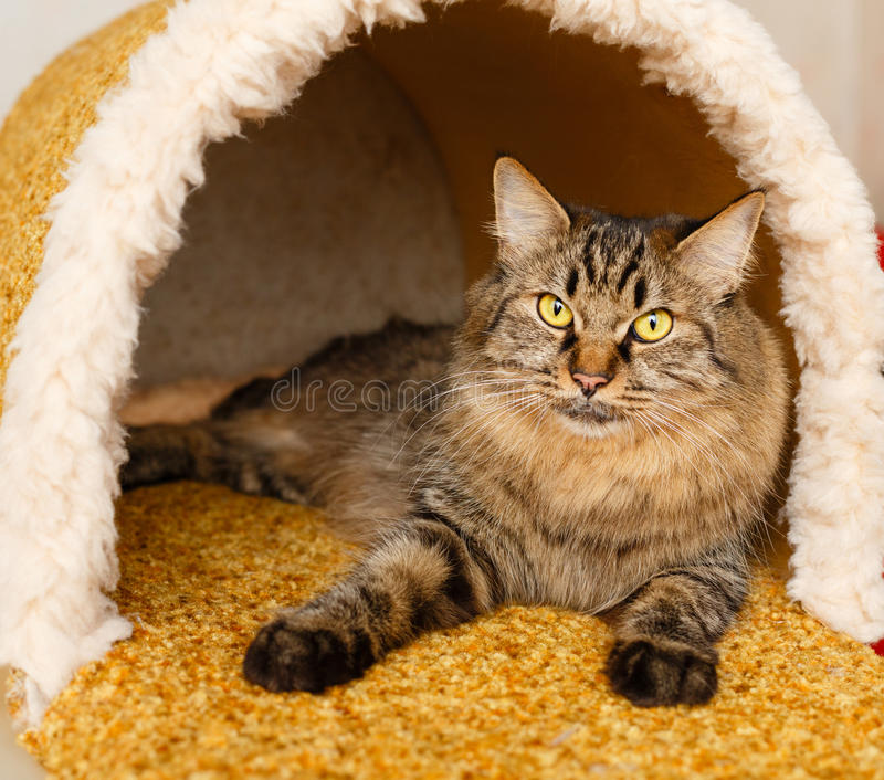 A cat in a cat`s house. A nice fluffy cat lies in a cat`s house. Pets. Hypoallergenic breed of cats royalty free stock images