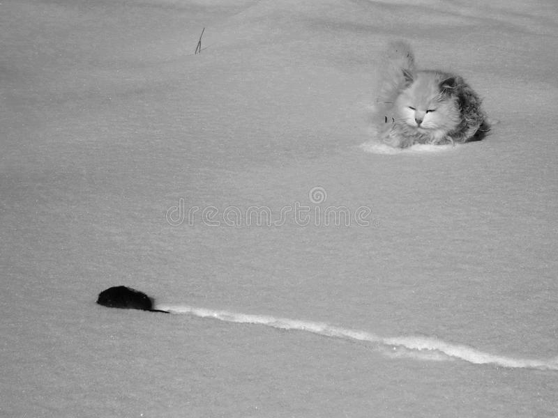 The cat catches the mouse in the snow royalty free stock photo