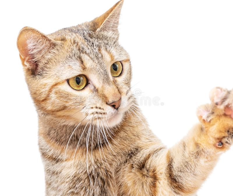 Cat catching or asking something with paw. stock photography