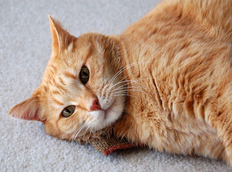 Cat on catnip. Cat daring you to take away his catnip stock image