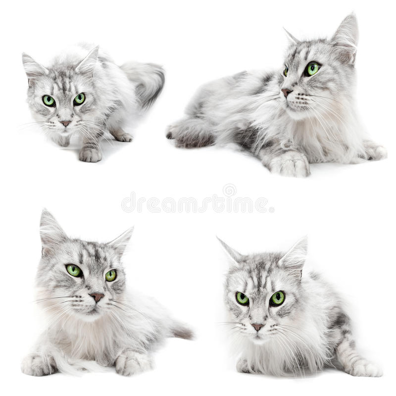 Download Cat cats stock photo. Image of background, pedigree, pictures - 22962264