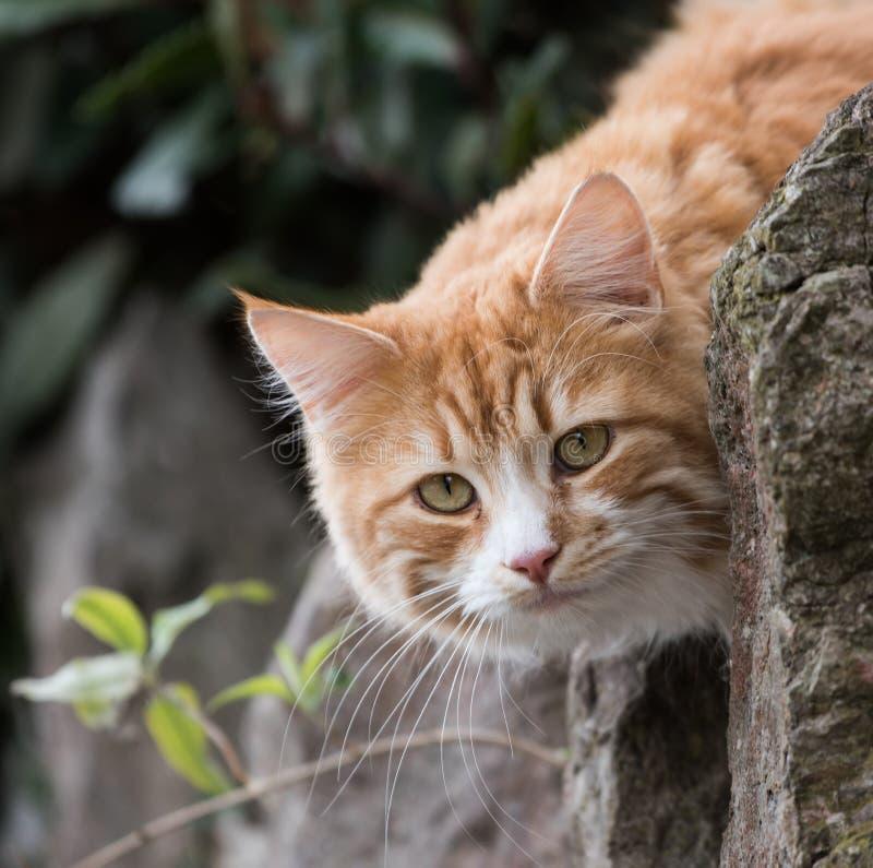 Cat, Cats, Kitty. Home Mammals - Cat, Cats, Kitty royalty free stock image