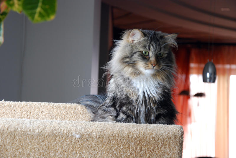 Cat. S, lovely fluffy pets royalty free stock photo