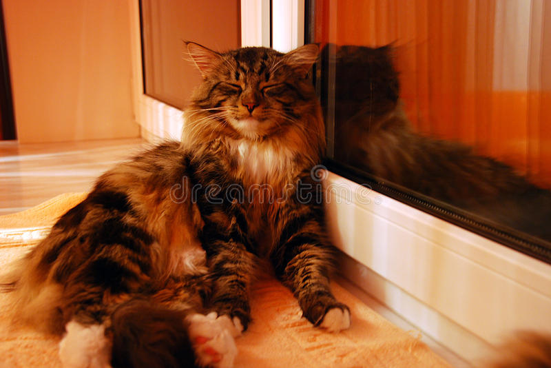 Cat. S, lovely fluffy pets royalty free stock image