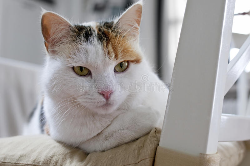 Cat on the chair stock photography