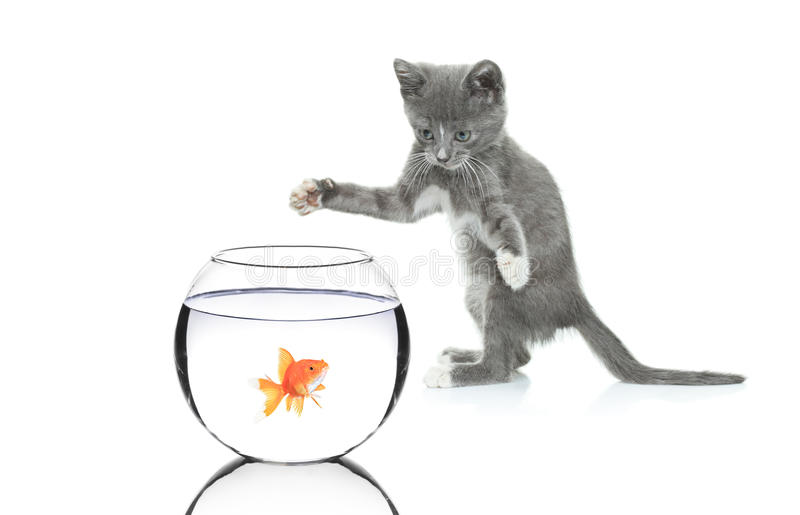 Cat chasing a fish in a bowl. Isolated on white background royalty free stock photos