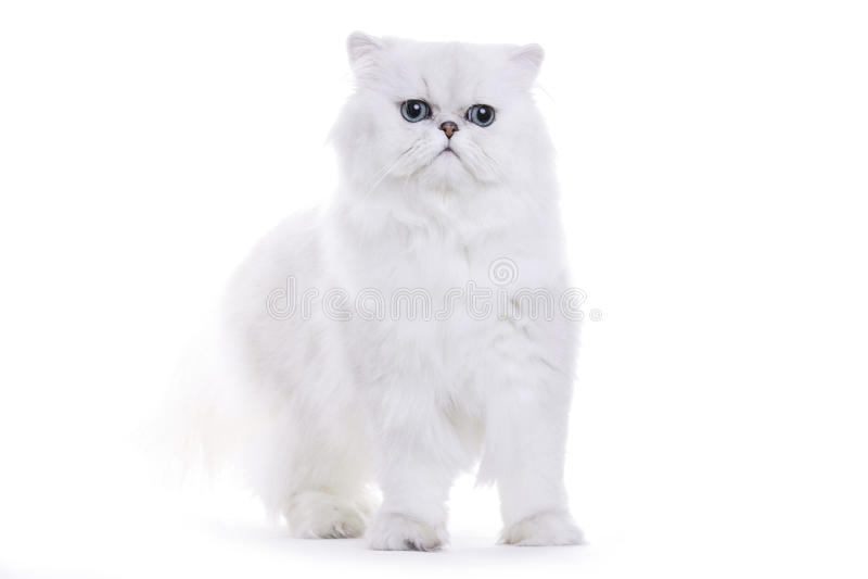 Cat, Chinchilla persian. Cat on white background, Chinchilla persian royalty free stock images