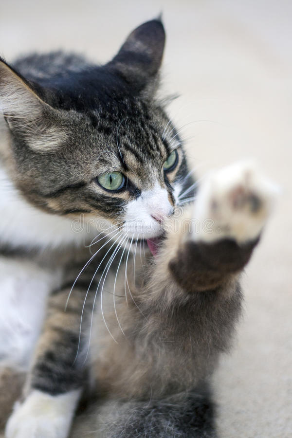 Download Cat cleaning itself stock photo. Image of tabby, clean - 37761504