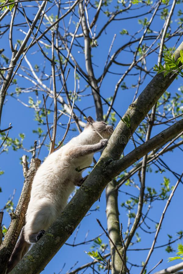 A cat climbs up a tree against a spring blue sky. Tree without leaves, Thai breed cat royalty free stock image