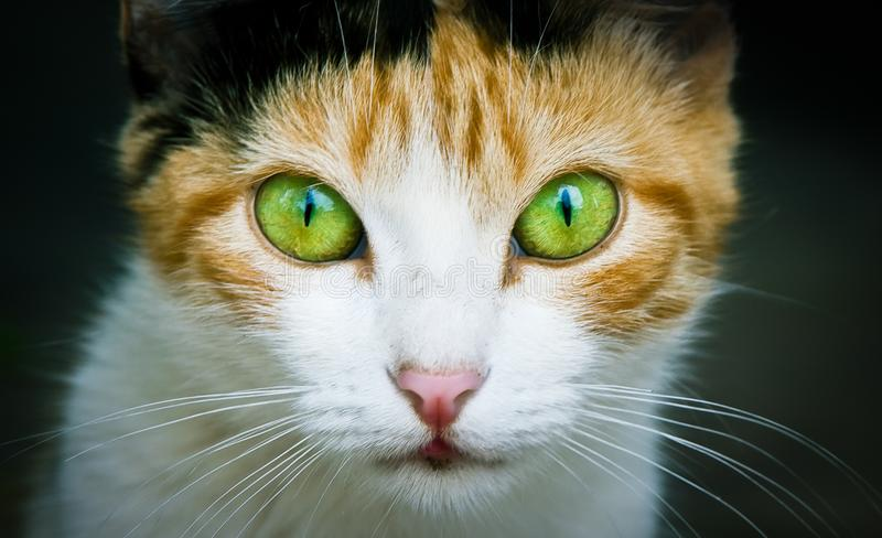Cat close photo. Cat portrait close-up photo emphasizing the colored green and yellow eyes staring at the camera dark background. Cat close photo. Cat portrait royalty free stock image