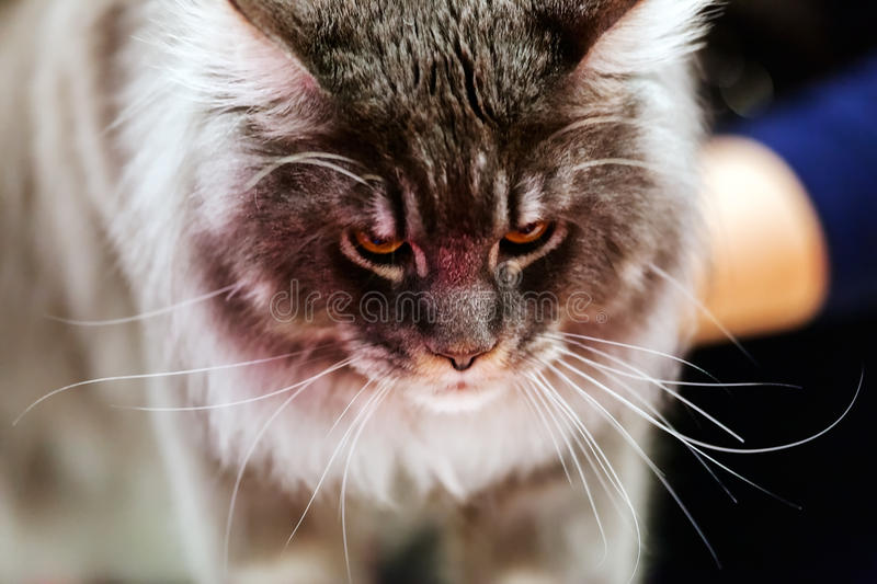 Cat. Close up of pure breed cat at pet show royalty free stock images