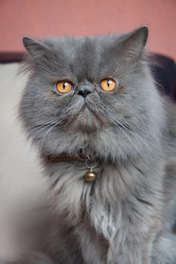 Cat with collar stock photography