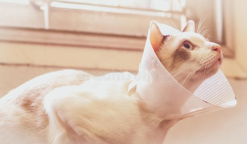 Cat with collar, cat after surgery, pain in cats, painful pets, Collar Cone Translucent Recovery Plastic Protective. Collar Anti-Bite Lick Wound Healing Safe stock photo