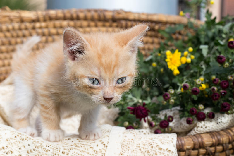 Cat coming out of a basket. With flowers royalty free stock photography