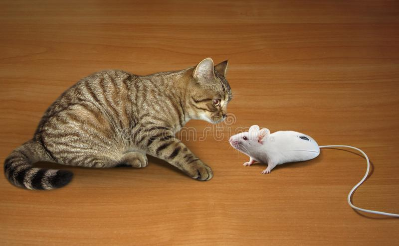 Cat and computer mouse. A cat is looking at a computer mouse. It looks like a real mouse royalty free stock image