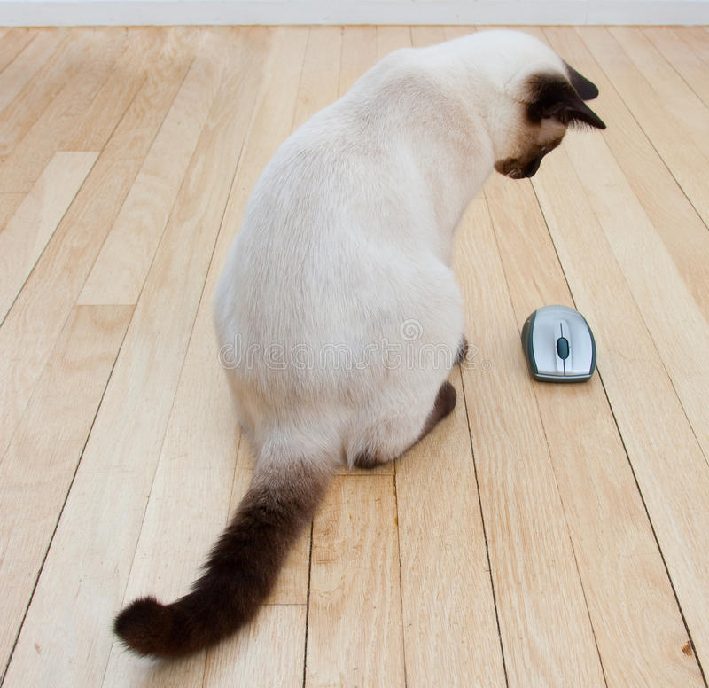Cat and Computer Mouse On Hardwood Floor. Cat looking at a computer mouse laying on a hardwood floor. Originally Logitech mouse. Logo removed royalty free stock photos