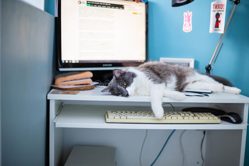 Cat on the computer table. White-gray cat on a white computer Desk against a blue wall, monitor, keyboard and mouse royalty free stock photography