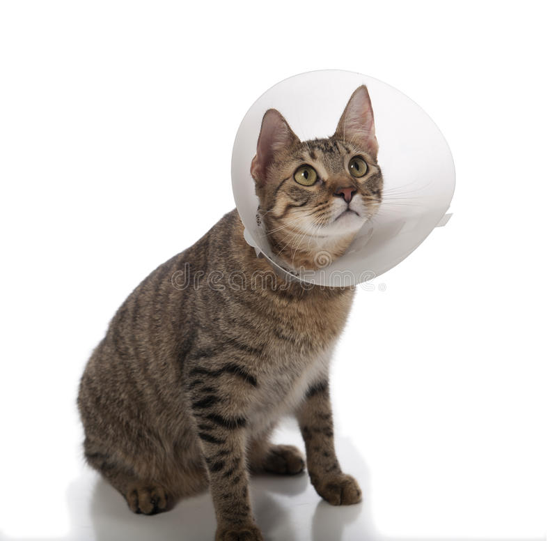 Cat in cone. Tabby cat in a cone isolated on a white background