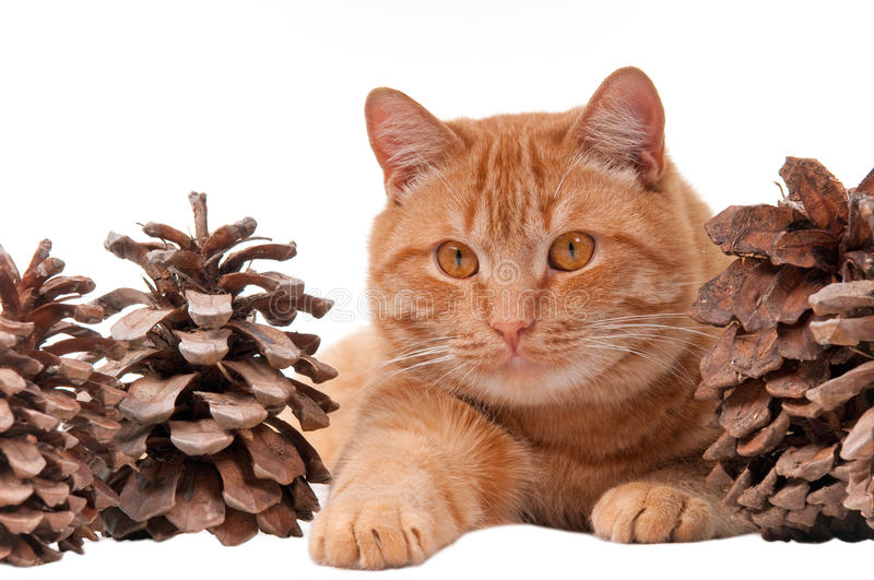 Cat And Cones Royalty Free Stock Photography