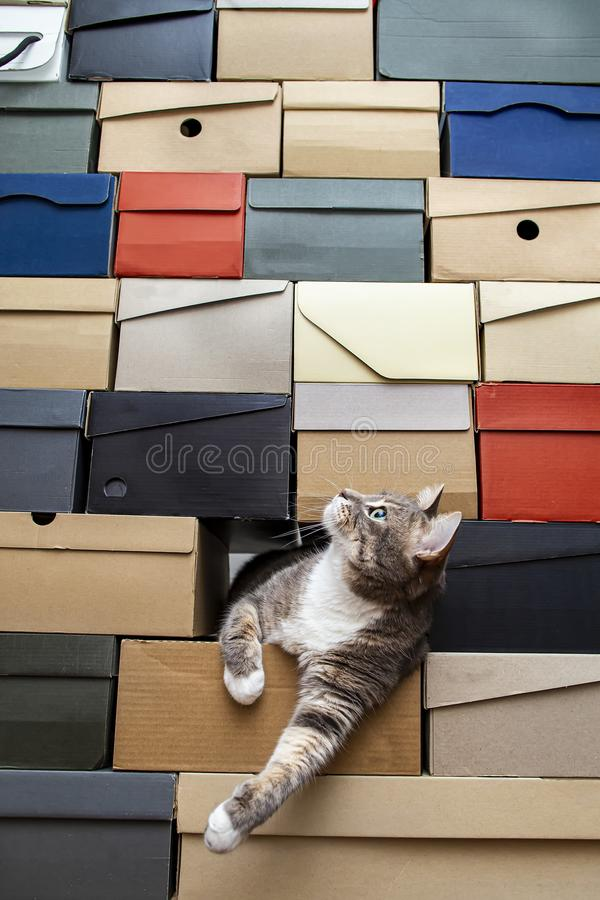 Cat crawled into a pile of stacked shoe boxes, calmly lies pulling paws and curiously looks up with copy space royalty free stock images