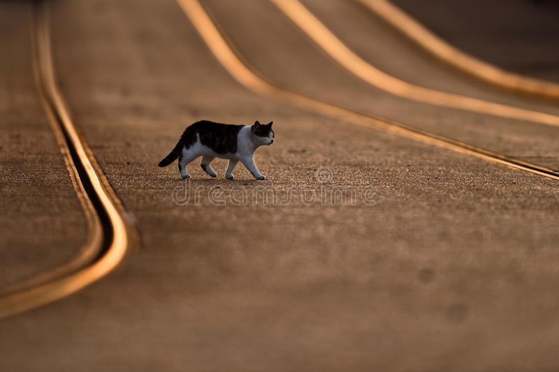 Cat Crossing Tram Lines At Sunset stock photo