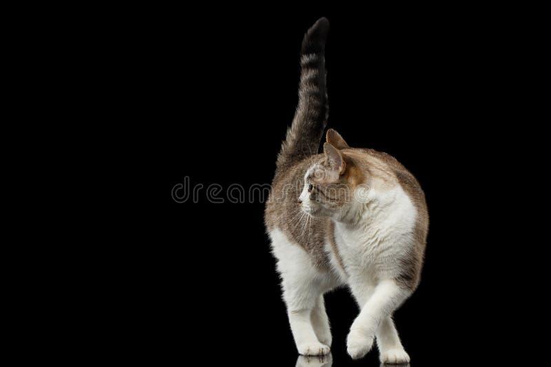 Cat Crouching blanca que camina juguetona en fondo negro aislado foto de archivo