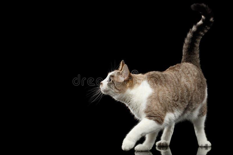 Cat Crouching blanca que camina juguetona en fondo negro aislado fotografía de archivo