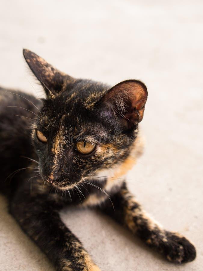 Cat Crouching mezclada negra imagen de archivo