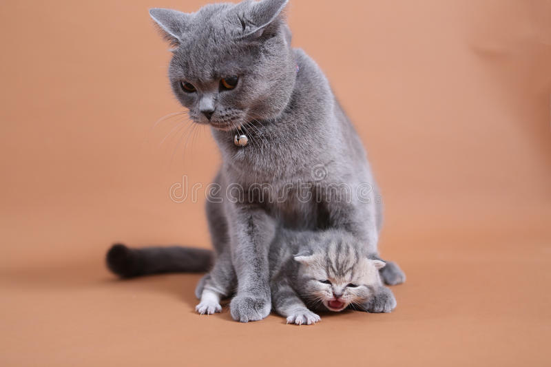Cat cuddling her small baby. British shorthair baby, newly born with her mother stock photos