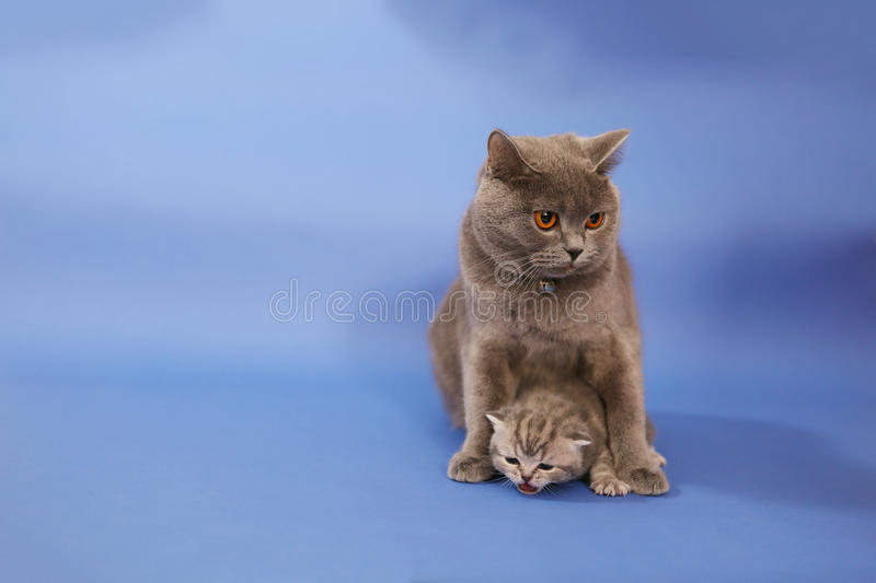 Cat cuddling her small baby. British shorthair baby, newly born with her mother stock photography