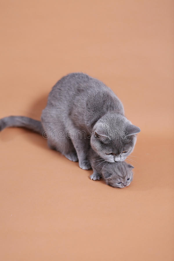 Cat cuddling her small baby. Cute British shorthair baby, newly born with her mother stock images