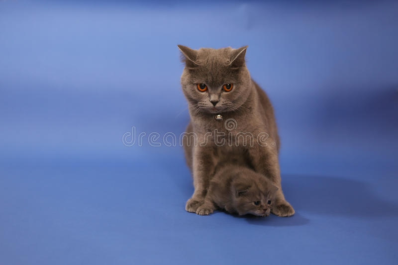 Cat cuddling her small baby. Cute British shorthair baby, newly born with her mother royalty free stock photography