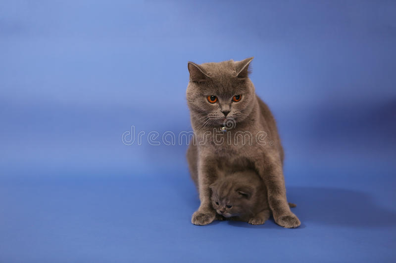 Cat cuddling her small baby. Cute British shorthair baby, newly born with her mother stock photo