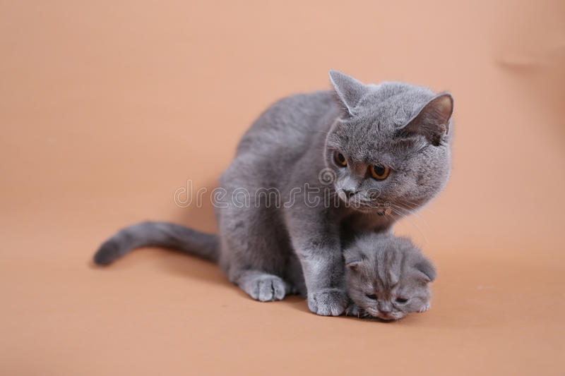 Cat cuddling her small baby. Cute British shorthair baby, newly born with her mother stock photography