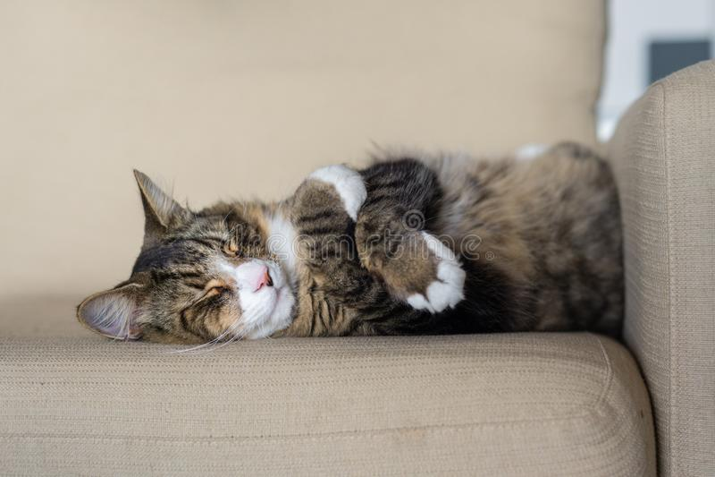 Cat curled up asleep. On sofa royalty free stock photos