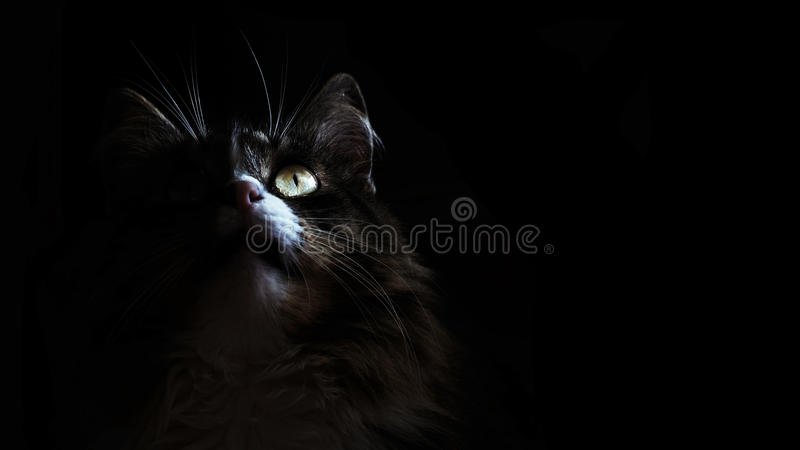 Cat in the dark. Portrait of a Kitty who is looking up on a black background.Suitable for posters,flyers,banner. Cat in the dark. Portrait of a Kitty who is royalty free stock photo